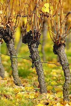 Autumnal grapevines
