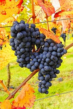 Lemberg grapes