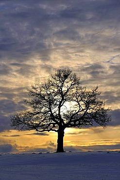 English Oak (Quercus robur)