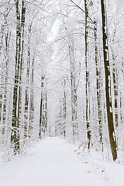 Wood path in a wintry beech forest