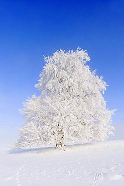 European Beech (Fagus sylvatica), winter landscape, Swabian Alb, Baden-Wuerttemberg, Germany, Europe