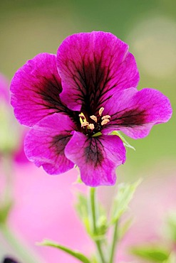 Painted Tongue, Scalloped Tube Tongue or Velvet Trumpet Flower (Salpiglossis sinuata)