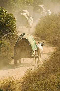 Ox carriages on a dusty road, Bagan, Burma, Myanmar, Southeast Asia