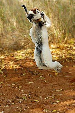 Verreaux's Sifaka (Propithecus verreauxi), adult, jumping, dancing, Berenty Game Reserve, Madagascar