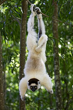 Verreaux's Sifaka (Propithecus verreauxi), adult, in a tree, Berenty Game Reserve, Madagascar