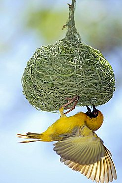 Southern Masked-Weaver or African Masked-weaver (Ploceus velatus), adult male hanging beneath its nest, displaying, Madikwe National Park, South Africa