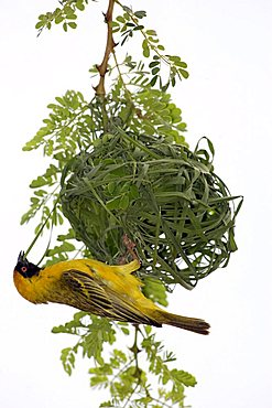 Southern Masked-Weaver or African Masked-weaver (Ploceus velatus), adult male weaving its nest, Madikwe National Park, South Africa
