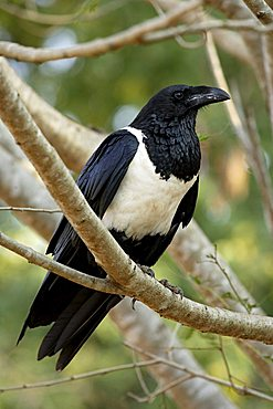 Pied Crow (Corvus albus), adult perched in a tree, Berenty Game Reserve, Madagascar, Africa