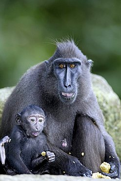 Celebes Crested Macaque or Crested Black Macaque (Macaca nigra), adult female feeding with an infant, native to Borneo, Celebes