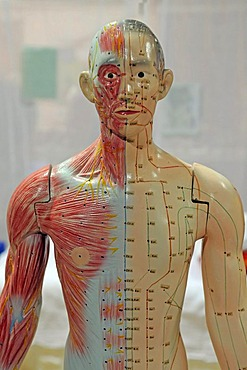 Acupunture points on model of human being