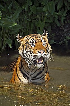 Sumatran Tiger (Panthera tigris sumatrae), adult, in water, native to, Sumatra, Asia