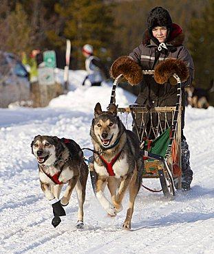 Running, mushing sled dogs, Alaskan Huskies, dog team, child, young boy, musher, dog sled race near Whitehorse, Yukon Territory, Canada