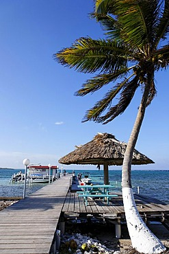 Palm tree with a jetty, Turneffe Flats, Turneffe Atoll, Belize, Central America, Caribbean