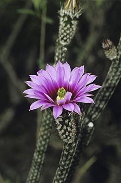 Cactus in bloom, Starr County, Rio Grande Valley, Texas, USA