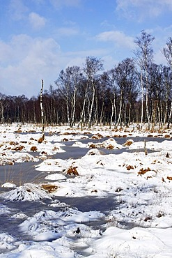 Snow-covered moor in winter, moorlands with Downy Birches (Betula pubescens), Alsterquellmoor, Henstedt-Rhen, Schleswig-Holstein, Germany, Europe
