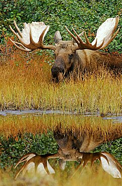 moose (Alces alces) lying at a pond, with reflection in the water, Denali N.P., Alaska, America