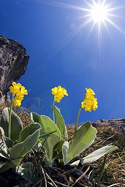 Bear's Ear Primroses (Primula auricula L.), Kalk Alps National Park, Upper Austria, Austria, Europe