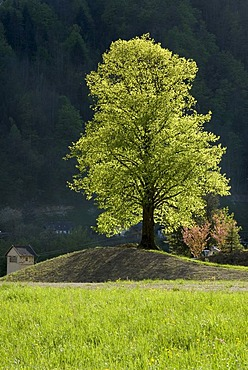 Lime or Linden Tree (Tilia), Reichraming, Upper Austria, Austria, Europe