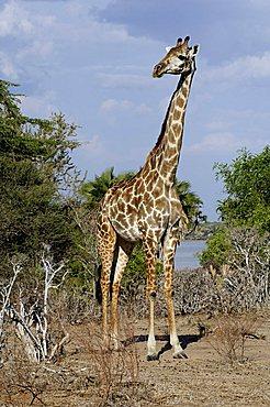 Masai giraffe (Giraffa camelopardalis tippelskirchi) standing in the lakeside habitat of lake Mzizimia, Selous Game Reserve, Tanzania, Africa