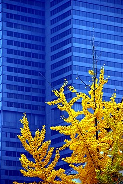 DEU, Germany Selmi skyscraper of the Volksbanken group in blue, in front a ginko tree with autumnal foliage
