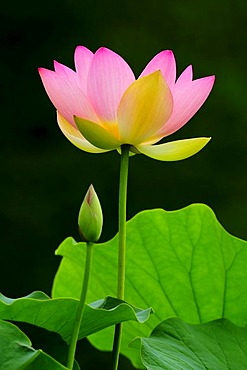 Pink Lotus (Nelumbo) flower with a bud