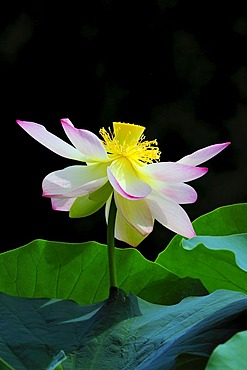 Open Lotus (Nelumbo) flower
