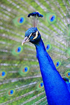 Indian Peafowl or Blue Peacock (Pavo cristatus)