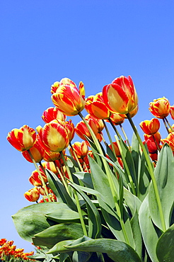 Tulips (Tulipa spec.)