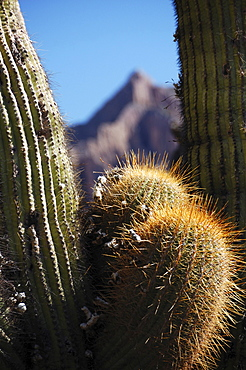 Cactus, Tilcara, Jujuy Province, northern Argentina, South America