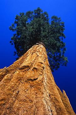 Giant Sequoia (Sequoiadendron giganteum), Mariposa Grove, Yosemite National Park, California, USA