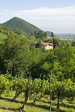 Hilly landscape, vineyards, Colli Euganei (Euganean Hills) near Padua, Veneto, Italy