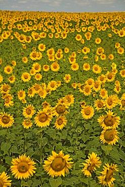 Field of Sunflowers, Sevastopol, Crimea, Ukraine, South-Easteurope, Europe,