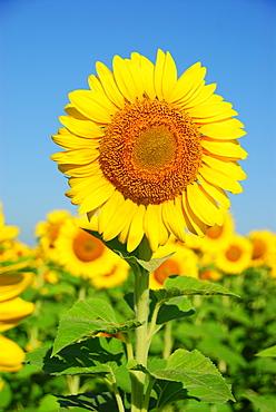 Sun flowers, Diamante, Entre Rios province, Argentina