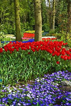 Tulips (Tulipa) and Pericallis (Pericallis spec.), Keukenhof, Holland, Niederlande, Europa