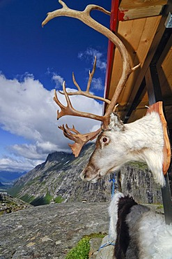 Reindeer trophy at the wall of a souvenir shop at the Trolligsten, Norway, Scandinavia