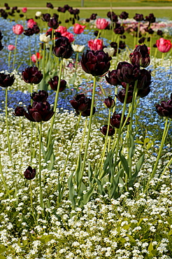 Black tulips with forget-me-nots