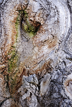Bark growing over a branch that's been sawed off