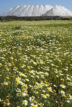 Sea salt mountain behind a chamomile meadow in the Saline de Lievan, Majorca, Balearic Islands, Spain, Europe