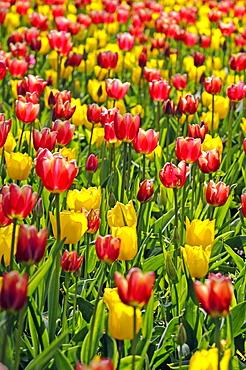 Tulips (Tulipa spp.)