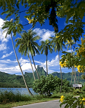 Road and palm trees along Cook's or Paopao Bay, Moorea, Society Islands, French Polynesia, South Pacific, Oceania