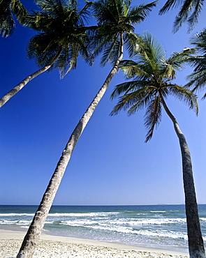 Palms on a beach, Moorea, Society Islands, French Polynesia, South Pacific, Oceania