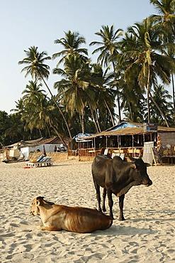 Holy cows on the beach, Palolem, Goa, India
