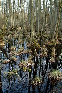DEU, Germany, Darss: Forest, swamp in the Boddenlandschaft National Park of Vorpommern.