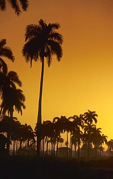 Palmtrees in the morning light, Cuba