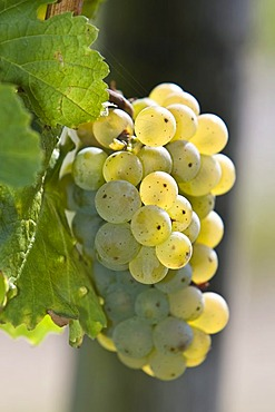 Grape-vine with grapes, Rheingau (Rhine District), Hesse, Germany