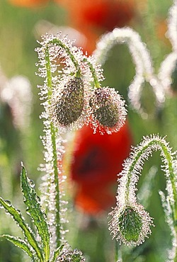 Morning dew drops on red buds of poppy.