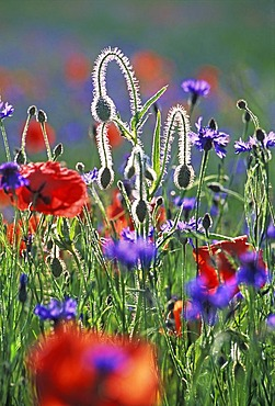 Meadow of poppies and blue cornflowers close to Aix en Provence, France. The hairy buds and stalks shine white in the contre jour.