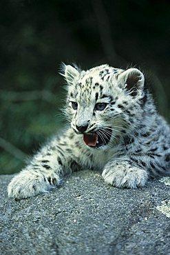 Snow Leopard (Uncia uncia), young animal