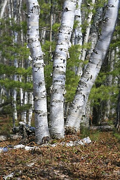 Birch forest on sandy soil in Pictured Rocks National Lakeshore, Michigan, USA