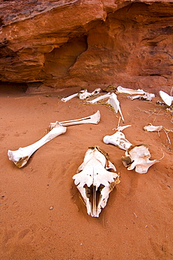 Fragmented goat skeleton lying in the desert sand, Wadi Rum, Jordan, Middle East